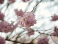 Kirschblüten_01